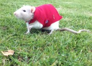 Snoopy the rat - taken by Dione McCallum